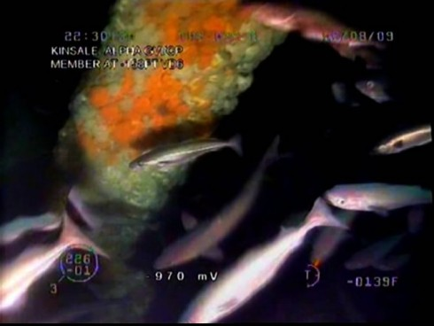 Schools of fish gather at the platform deep below the surface